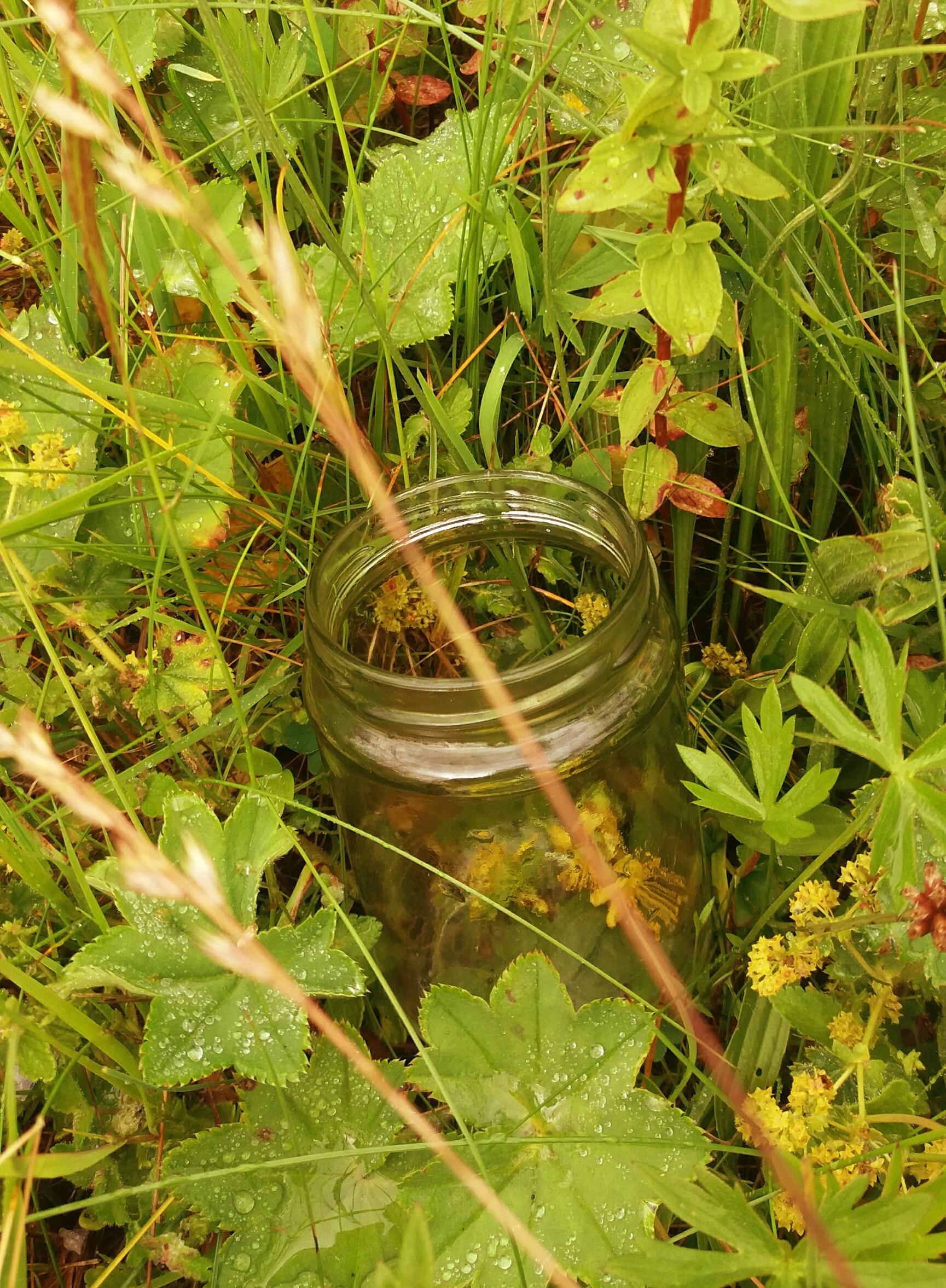 Johanniskraut im Glas