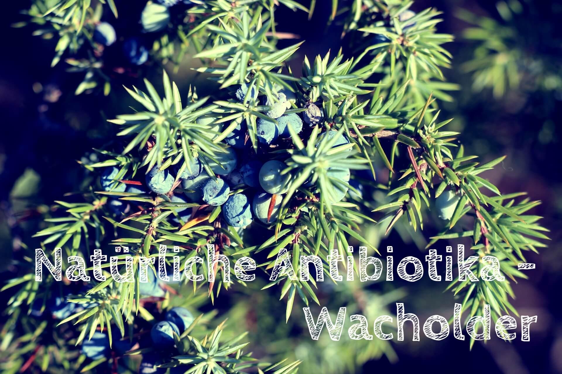 Natürliche Antibiotika – Wacholder