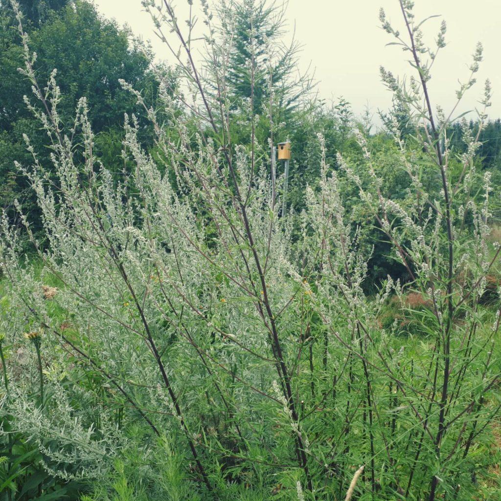 Beifuß im Garten