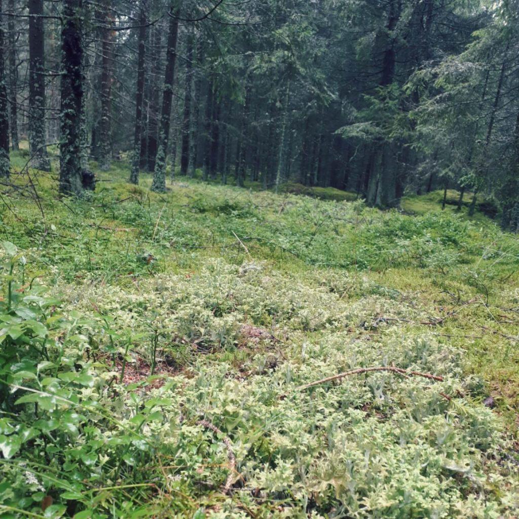 Isländisch Moos im Wald
